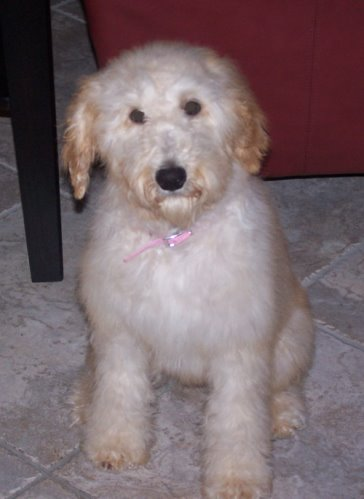 Ella is our Goldendoodle. A Goldendoodle is a cross-breed dog obtained